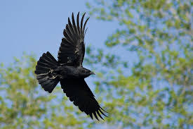 crow-flying