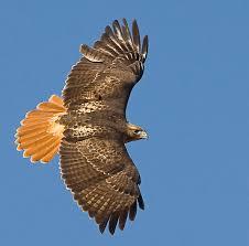 Hawk4