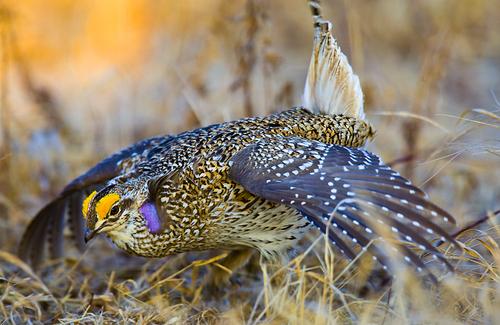 Grouse Sharp-tailed 2a