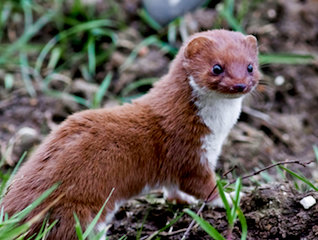 Weasel 1a
