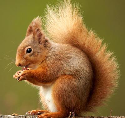 Squirrel 2 small