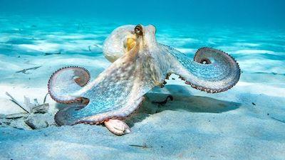 Octopus 1 small